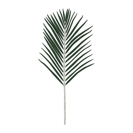 Illustration of Areca palm leaf