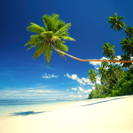 Coconut tree at a tropical beach on Samoa