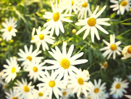 Daisy flowers in a field
