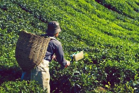 Tea picker harvesting tea leaves Stok Fotoğraf