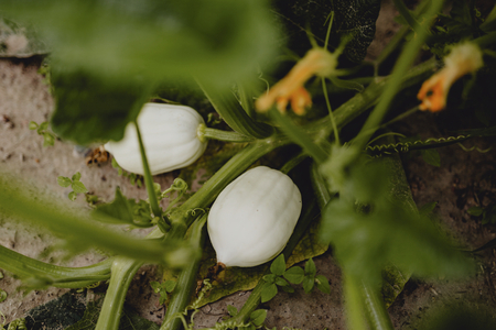 Growing white pumpkins at a farm