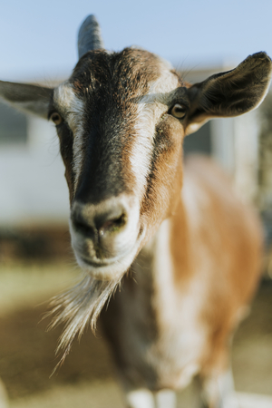 Rescued goat, The Sanctuary at Soledad, Mojave Reklamní fotografie - 111772489