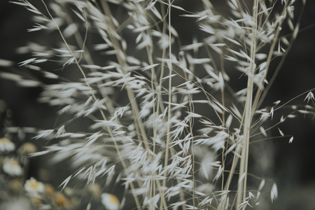 Dried grass blowing in the wind