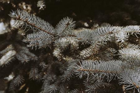 Closeup of blue spruce foliage textured wallpaper