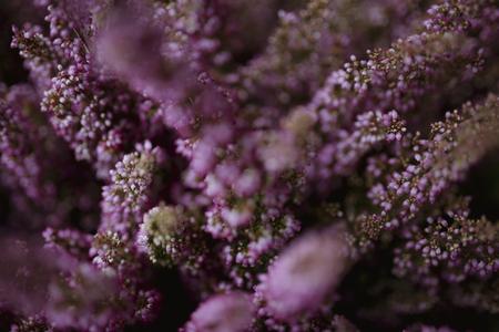 Rosa Heideblüten-Buschhintergrund
