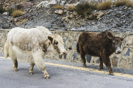 Yak and a cow on the highway in Pakistan Stock Photo