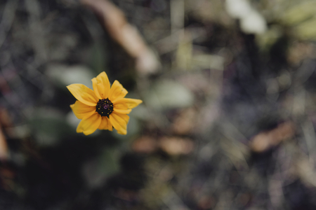 Closeup of black-eyed Susan flower in a garden Stok Fotoğraf