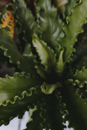 Closeup of bird's nest fern foliage
