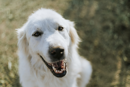 Portrait of a dog with a big smile on his face 写真素材