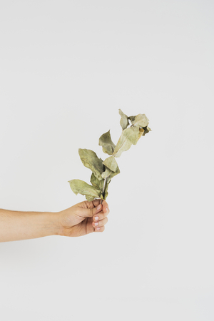 Hand holding a dried branch Stock Photo