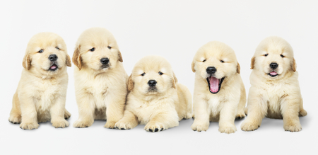 Portrait of five adorable golden retriever puppies Stock Photo - 113955544