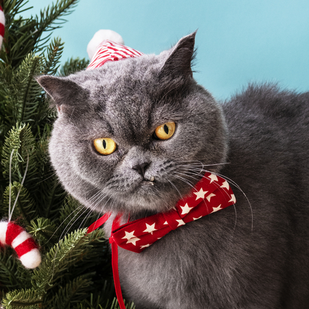Scottish Fold cat wearing a red bow celebrating Christmas 스톡 콘텐츠