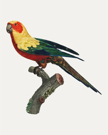 The Sun Parakeet (Aratinga solstitialis), female vintage illustration