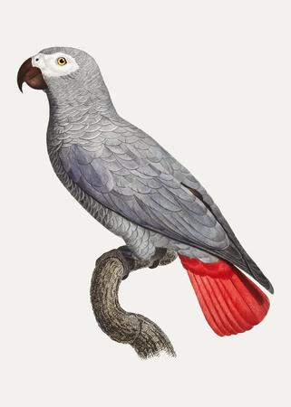 The Grey Parrot (Psittacus erithacus) illustration