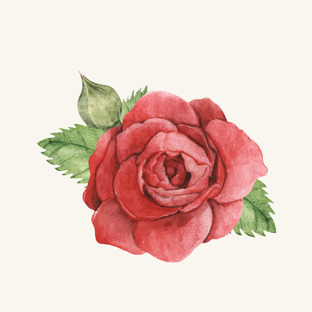 Hand drawn red rose isolated Illustration