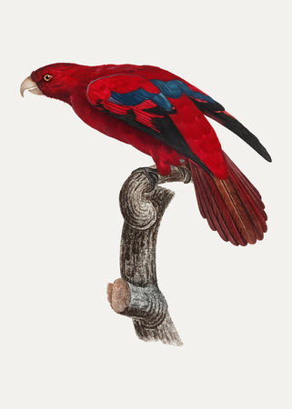 The Red Lory (Eos bornea) vintage illustration