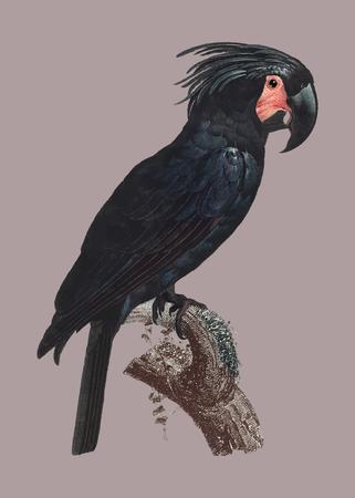 The Palm Cockatoo (Probosciger aterrimus) vintage illustration