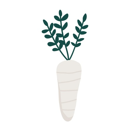 Fresh white daikon radish vector Illustration