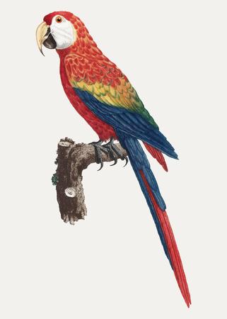 Kolorowa ilustracja vintage Araracanga
