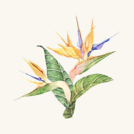 Hand drawn bird of paradise flower isolated Banque d'images - 126250814