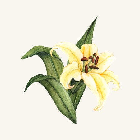 Hand drawn white lily flower isolated