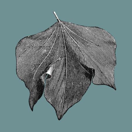 Vintage leaf illustration Zdjęcie Seryjne - 125970919
