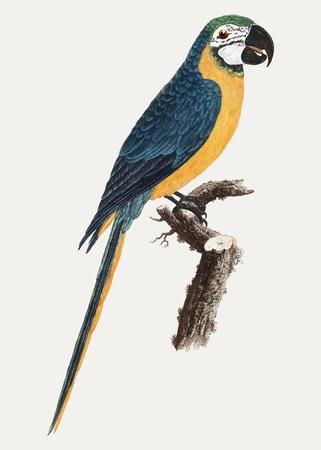Blue-and-Yellow Macaw vintage illustration Illustration