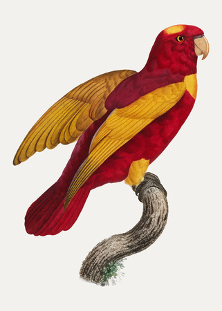 Red-and-Gold Lory (Lorius rex) vintage illustration  イラスト・ベクター素材