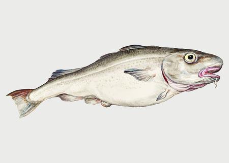 Vecteur d'illustration de poisson morue vintage