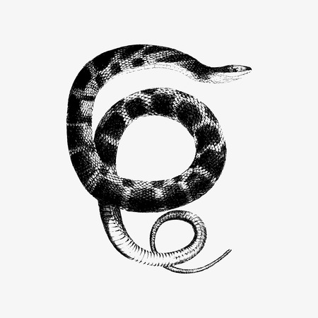 Drawing of plain-bellied water snake