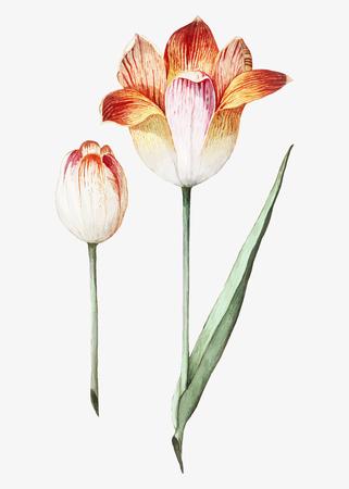 Vintage tulip flower illustration in vector 版權商用圖片 - 125881771