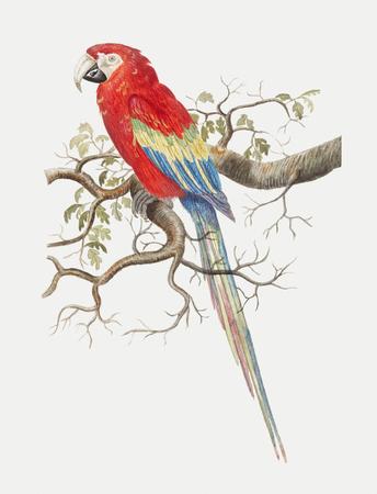 Vintage scarlet macaw bird illustration Stock Photo