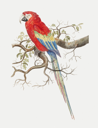 Vintage scarlet macaw bird illustration Фото со стока