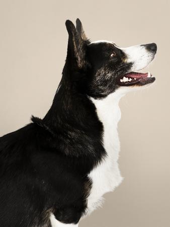 Happy Cardigan Welsh Corgi dog