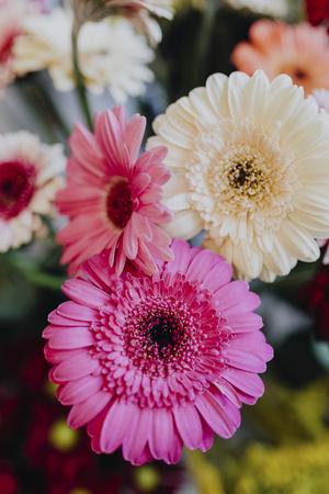 Pink and white Gerbera daisies Stockfoto