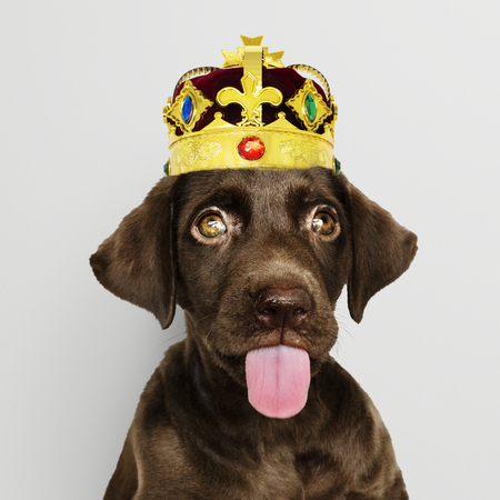 Cute chocolate Labrador Retriever in a classic red velvet and gold crown