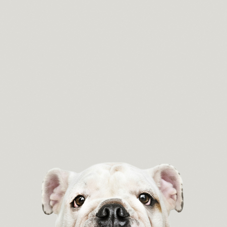 Adorable white Bulldog puppy portrait