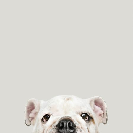 Schattig wit Bulldog puppy portret