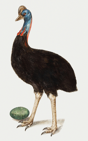 Vintage cassowary bird illustration