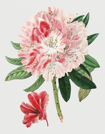 Vintage piękny kwiat rododendronów do dekoracji