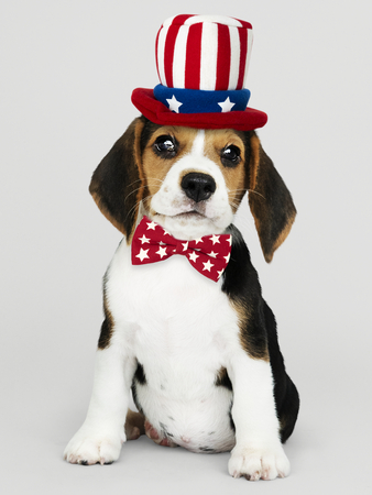 Cute Beagle puppy in Uncle Sam hat and bow tie