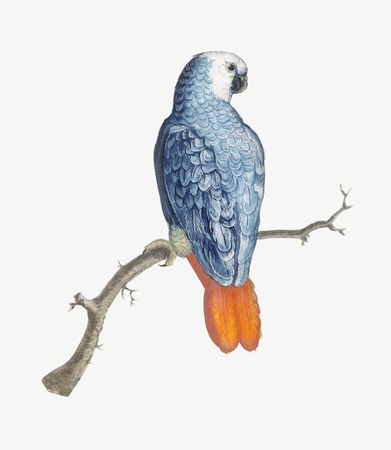 Vintage gray red tailed parrot bird illustration