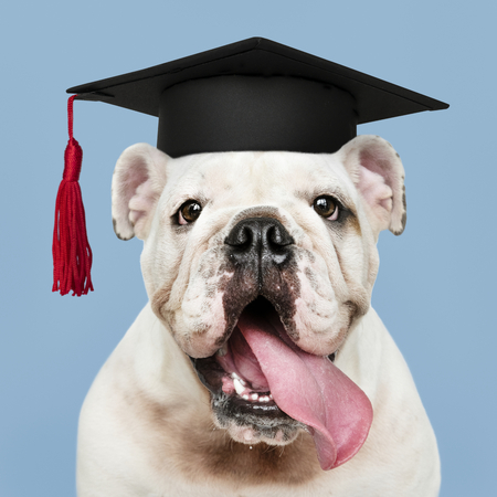 Cute white English Bulldog puppy in a graduation cap Standard-Bild