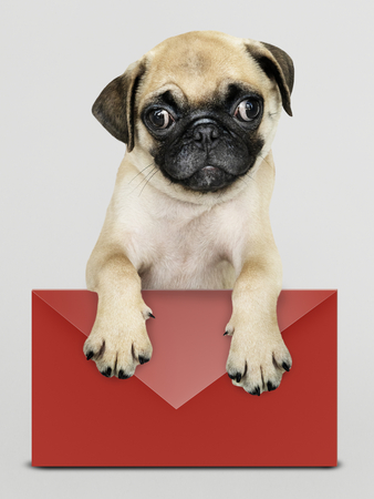 Adorable pug puppy with a red envelope mockup