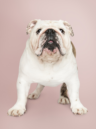 Adorable white Bulldog puppy portrait