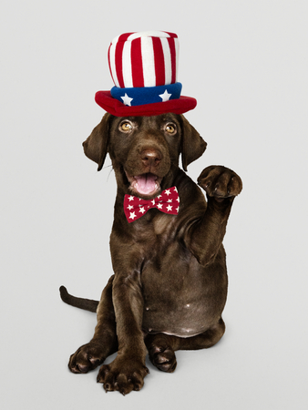 Cute chocolate Labrador Retriever in Uncle Sam hat and bow tie Stock Photo
