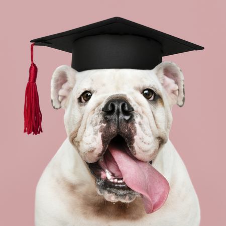 Cute white English Bulldog puppy in a graduation cap Stock Photo