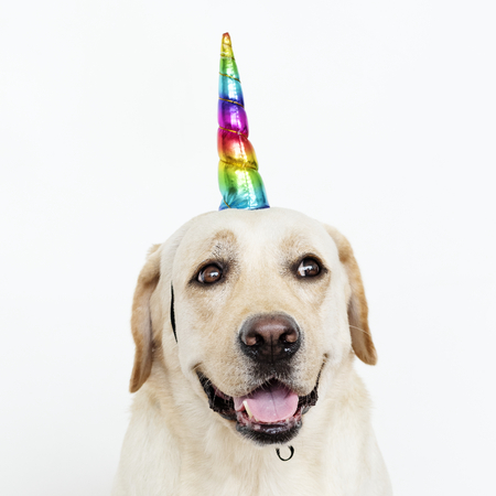 Cute Labrador Retriever with a unicorn cap