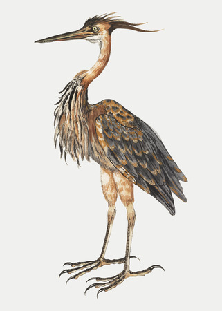 Vintage full length purple heron illustration vector