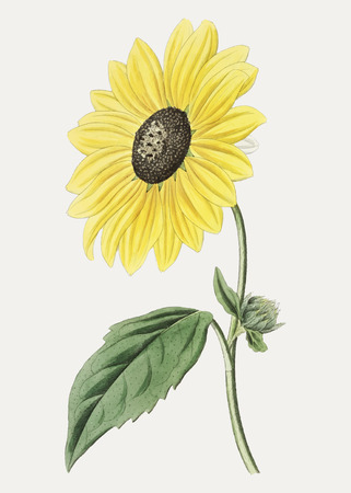 Vintage Californian sunflower for decoration